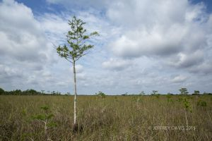 BABY CYPRESS, EVERGLADES NATIONAL PARK, FLORIDA, 2015, SERIES A