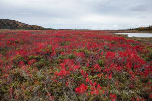 BIG RED, MEADOW NEAR CORNER BROOK, NEWFOUNDLAND, CANADA, 2015, SERIES A