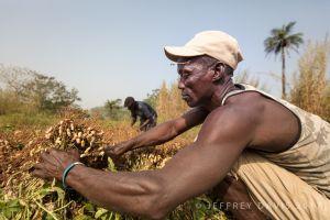 HARVESTING PEANUTS, A CORE COMPONENT OF PPB'S FREE RUTF, ROKULA, SIERRA LEONE